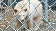Clover the Kermode bear is the first of his kind in captivity. The B.C. Wildlife Park is in the process of building him his own special enclosure