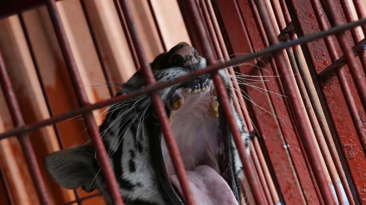 A tiger is seen in a cage before a rehearsal at the Atayde Hermanos Circus in Mexico City