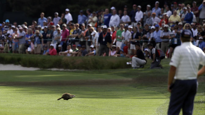 A ground hog scurries across the sixth fairway as Steve Stricker looks on during the second round of the U.S. Open golf tournament at Merion Golf Club, Friday, June 14, 2013, in Ardmore, Pa. (AP Photo/Darron Cummings)