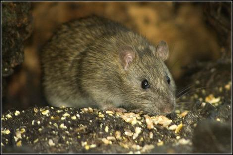 Detroit Suburb Residents Give Rat Bounty Big Thumbs Down
