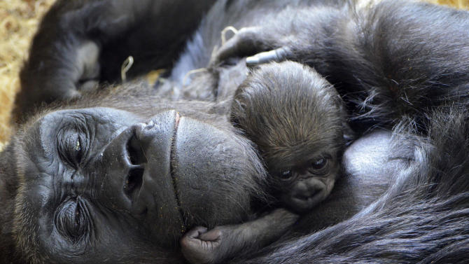FILE - In this Oct. 15, 2012 file photo provided by the Lincoln Park Zoo in Chicago, a newborn western lowland gorilla, born on Oct. 11, cuddles with its mother Bana, 17, at the zoo. Endangered chimpanzees, orangutans, gorillas and bonobos are disappearing from the wild in frightening numbers, as private owners pay top dollar for exotic pets, while disreputable zoos, amusement parks and traveling circuses clamor for smuggled primates to entertain audiences. (AP Photo/Courtesy of the Lincoln Park Zoo, Tony Gnau, File)