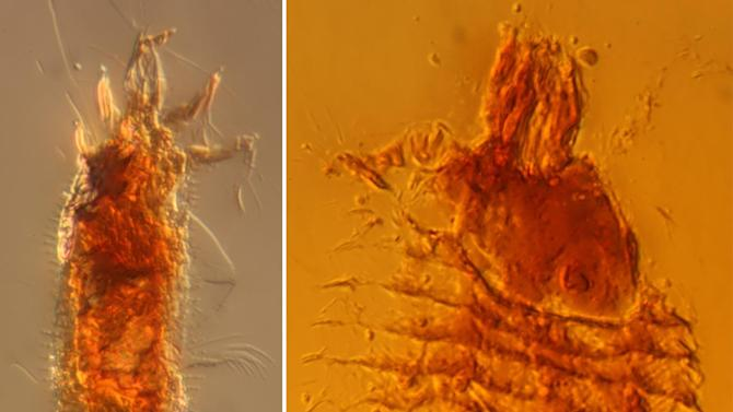 This undated handout photo provided by the Proceedings of the National Academy of Sciences and the University of Göttingen shows photomicrographs of the two new species of ancient gall mites in 230-million-year-old amber droplets from northeastern Italy. The gall mites were named: Triasacarus fedelei, left, and Ampezzoa triassica. (AP Photo/A. Schmidt, University of Göttingen, Proceedings of the National Academy)