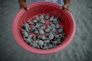 A worker carries olive ridley sea turtle hatchlings …