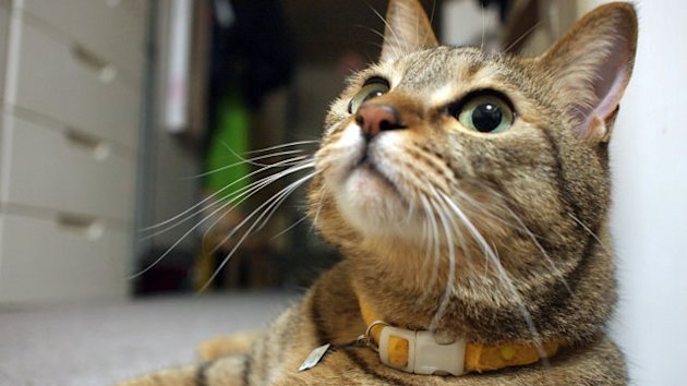 Hacker Clue Found on Cat's Collar (ABC News)