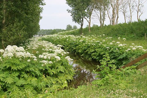 Giant Hogweed