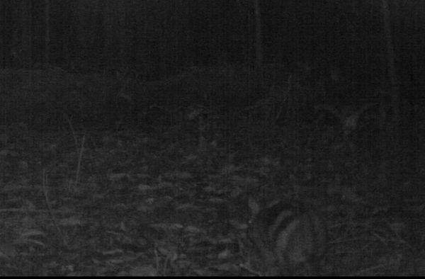 Rare & Secretive Striped Rabbit Caught on Camera