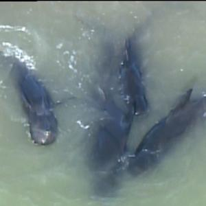 Concerns increase for the health of dozens of stranded whales