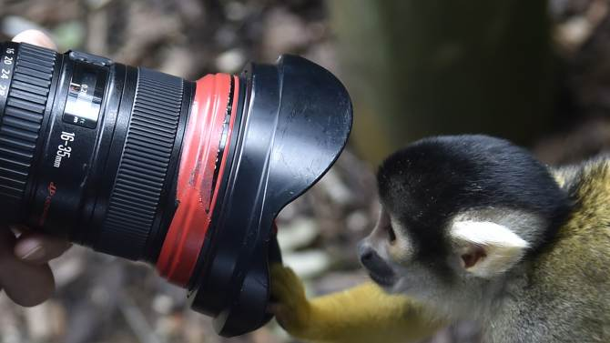 A Squirrel Monkey peers into a photographer's lens during a photocall at London Zoo
