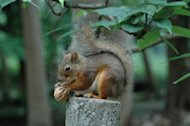 A squirrel holds a nut at the Inokashira Park Zoo in Tokyo. Japanese zookeepers who lost 30 squirrels after a typhoon damaged their enclosure said on June 28, their recovery efforts had exceeded expectations with 38 animals back in captivity and denied any mathematical mystery behind the number of squirrels fleeing and being recaptured