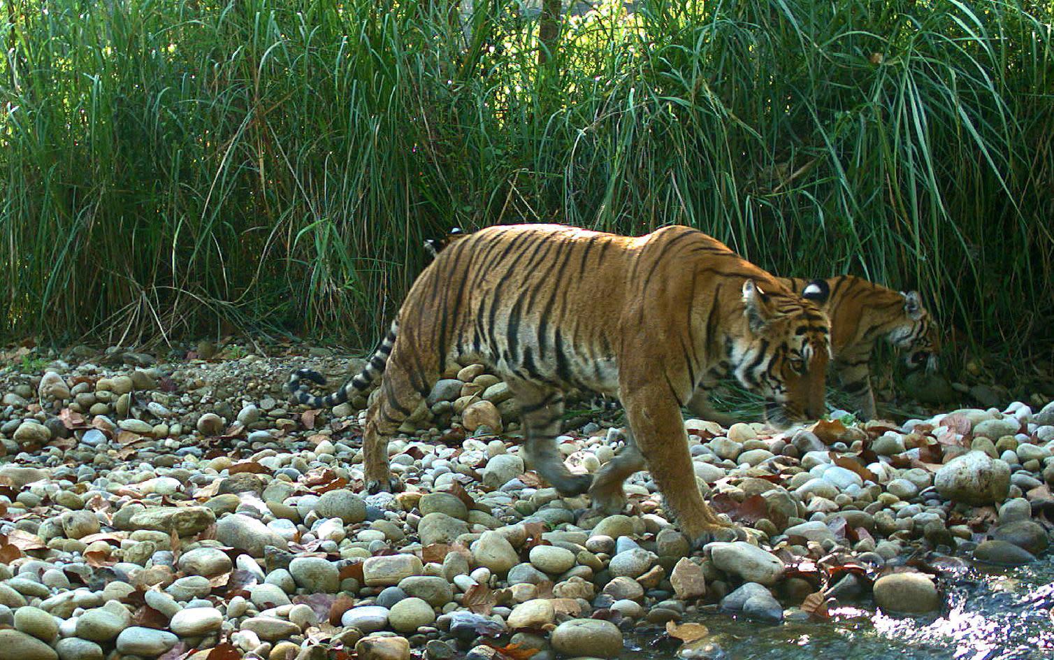 'Tiger heavyweight' Nepal hosts anti-poaching summit