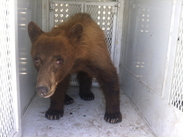 In this photo provided by Kern County Animal Control, a black bear that wandered onto school property during a Bakersfield school graduation is shown before being released in Kern County, Calif., Thur