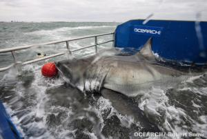 Great White Mystery: Expedition to Unravel Shark Secrets