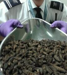 In this undated photo released on Friday March 1, 2013 by the UK Border Agency, an official shows the seizure of dried caterpillars at Gatwick airport, England. British customs agents made a creepy discovery when an airline passenger was found with 94 kilograms (207 pounds) of caterpillars in his luggage. The man claimed the insects were intended as food for personal consumption. The U.K. Border Force said Friday that inspectors at London's Gatwick Airport found the dried caterpillars shrink-wrapped in cellophane and packed into hessian bags carried by a passenger travelling from Burkina Faso via Istanbul. (AP Photo/UK Border Agency)
