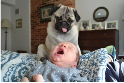 How a Pug Interacts With a Baby