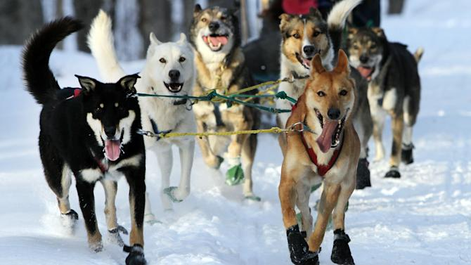 """In this photo taken Thursday Jan. 17, 2013 a group of sled dogs from the Muddy Paw Sled Dog Kennel runs a trail in Jefferson, N.H. The kennel takes in rescues and """"second-chance"""" dogs  and is also home to a blind dog that relies on his brother to keep up with the rest of the team. (AP Photo/Jim Cole)"""