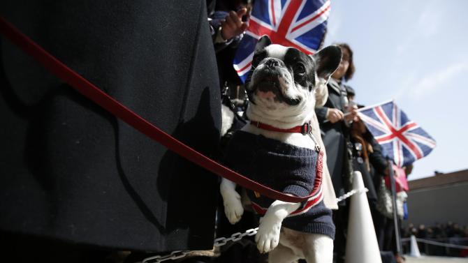 A French bulldog wearing clothes featuring Union Flags (also known as the Union Jack) walks as its owner waits for the arrival of Britain's Prince William (not pictured), Duke of Cambridge, at the Tsutaya bookstore Daikanyama in Tokyo