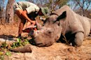Rhino Poaching at Record High in South Africa