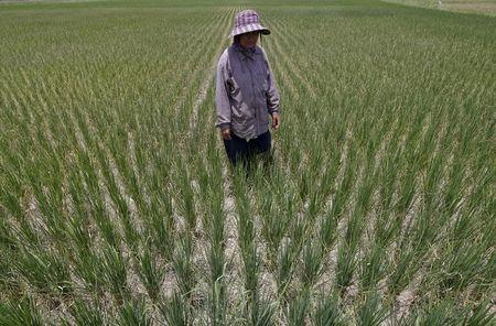 A farmer walks in her dry rice field in Suphan Buri province, west of Bangkok