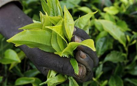 A worker picks tea at a plantation in Githunguri
