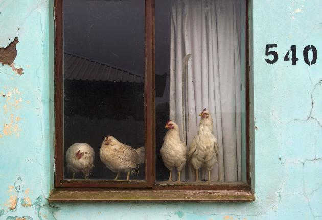 Chickens escape from the rain and cold near the home of former South African President Nelson Mandela in Qunu
