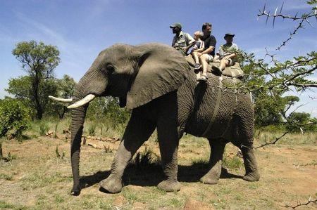 Tourists from Las Vegas enjoy an elephant ride at Elephants for Africa Forever game park near Johannesburg