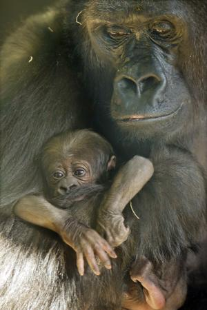 In this photo taken Nov. 18, 2011, provided by the Lincoln Park Zoo, Western Lowland Gorilla mother Bana hold her new her baby which was born on Nov. 16, 2011. The baby which has yet to be named joins a troop of seven Western Lowland Gorillas at the zoo. The newborn girl is the first of this critically endangered species to be born at the zoo since 2005. (AP Photo/ Lincoln Park Zoo, Todd Rosenberg)