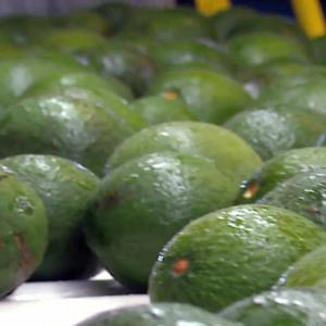 Drones, dogs used to protect avocado from disease