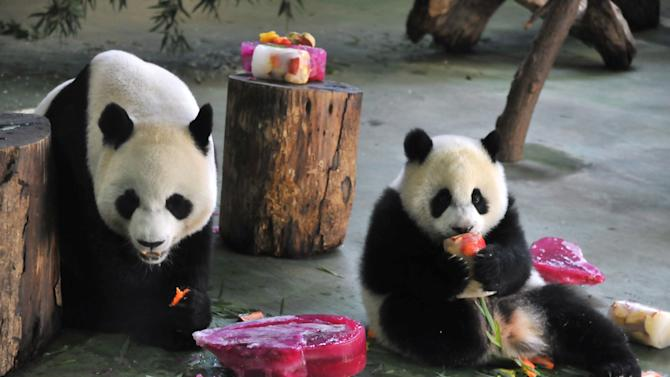 Yuan Zai (R) , the first Taiwan-born baby panda, and her mother Yuan Yuan (L) enjoy cake, during the celebration of her first birthday at the Taipei City Zoo on July 6, 2014