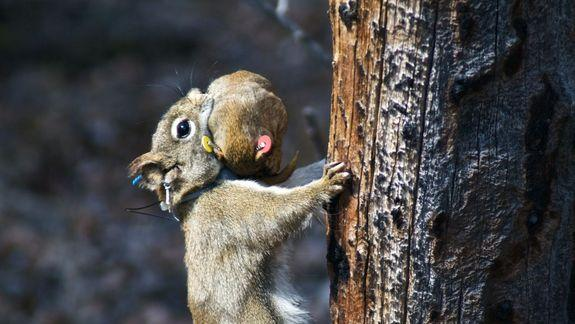 How Red Squirrels Are Like Tiger Moms