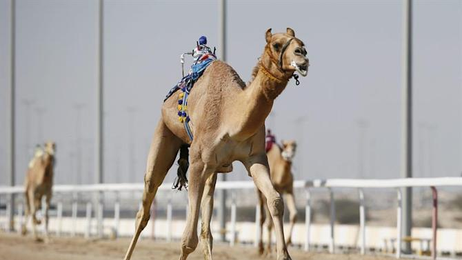 . Doha (Qatar), 24/01/2015.- Camels being controled by robot jockeys race at the Sheikh Faisal Camel Race Track, Qatar 24 January 2015. The traditional Bedouin sport sees camels racing around a track of eight kilometers. Also known as the 'Sport of Sheikhs', Qatar has begun using robot jockeys instead of human jockeys. Robots jockeys are designed with titanium to look like humans equipped with electronic whips and are controlled from the sides of the track by an armchair jockey manning a joystick and computer screen. Qatar 2015 via epa/Nic Bothma Editorial Use Only/No Commercial Sales