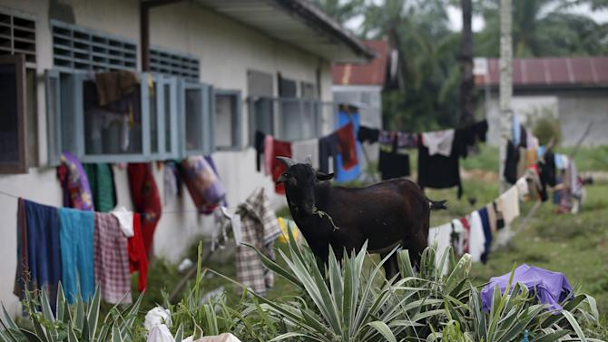 A goat grazes around clothes of Rohingya migrants, who arrived in Indonesia last week by boat, that have been left out to dry at a temporary shelter in Aceh Timur regency near Langsa in Indonesia's Aceh Province