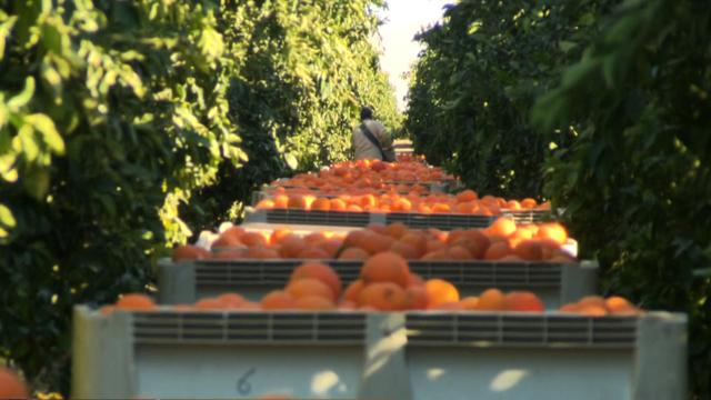 Calif. citrus crop threatened by freezing temperatures