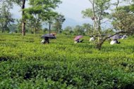 Workers pluck tea leaves at a tea plantation in Siliguri, northeastern Indi, on June 11. After a decade of scorching near double-digit economic growth, there is growing alarm that India is sliding back towards its previous expansion rate of 5.0-6.0 percent