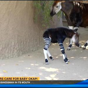Okapi calf doing well at Safari Park