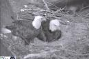 In this frame grab from a live video feed provided by PixController, Inc. and the Pennsylvania Game Commission, two bald eagles sit in their nest, Friday evening, March 28, 2014, in the Hays neighborhood of Pittsburgh. The female eagle is at right. Bald eagle pairs are active on two additional sites in Allegheny County. More than 200 nests have been reported in Pennsylvania. (AP Photo/PixController, Inc. and the Pennsylvania Game Commission)