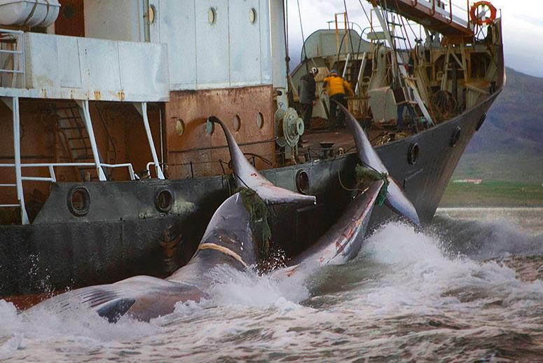 Whales Face a New Threat From the Melting Arctic
