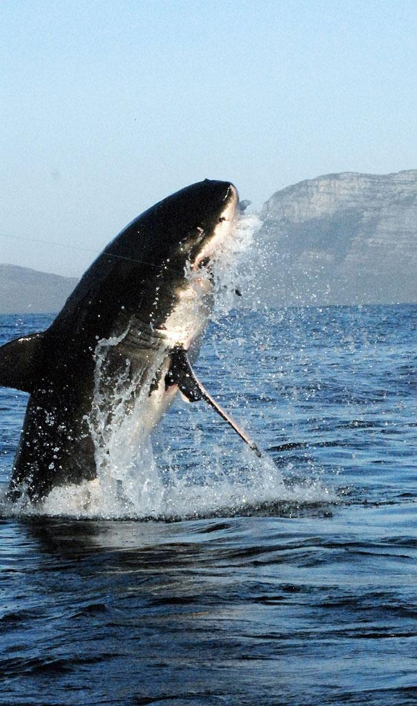 A white shark breaches in an attempt to catch its prey. Day of the Shark 2