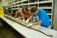 Once the scientists have finished examining the huge Burmese python, the snake will be mounted for exhibition at the Florida Museum of Natural History for about five years, and then returned for exhibition at Everglades National Park.