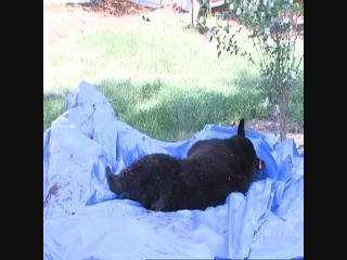 Black bear shows up in Tampa homeowner's backyard, goes up tree