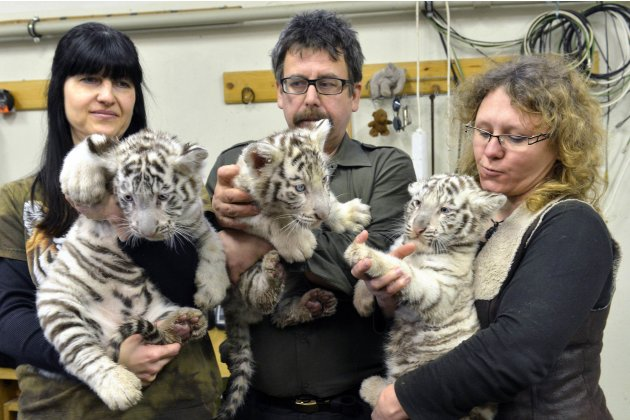 Eight-week-old white tiger cubs are held up during a medical examination by veterinary surgeons at Bratislava Zoo