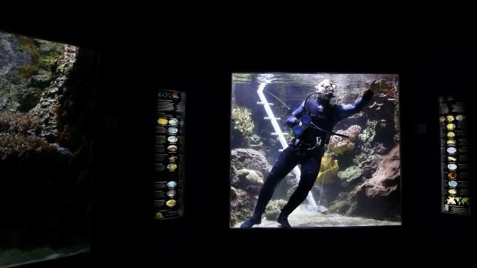 A diver cleans the inside surface of a viewing window of a fish tank at the aquariumin La Rochelle