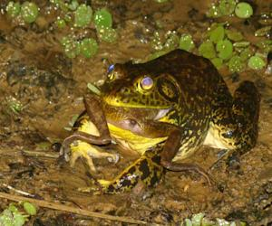Live Bullfrog Trade Implicated in Amphibian-Killing Disease