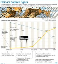 A graphic showing facts about captive-bred tigers in China. China has defended its record on protecting endangered species after an environmental group accused it of allowing the sale of captive-bred tiger skins and body parts