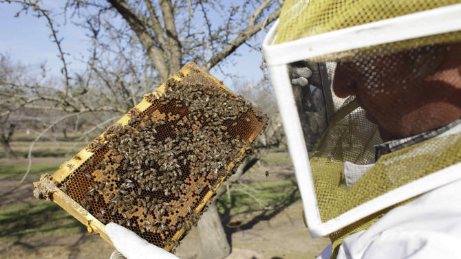 Bee inspector Neil Trent of Scientific Ag Co., inspects a frame of bees to assess the colony strength Tuesday, Feb. 12, 2013, near Turlock, Calif. Trent says some bee hives in the state have weak colonies of bees, spelling a bee shortage in time for almond bloom. (AP Photo, Gosia Wozniacka)