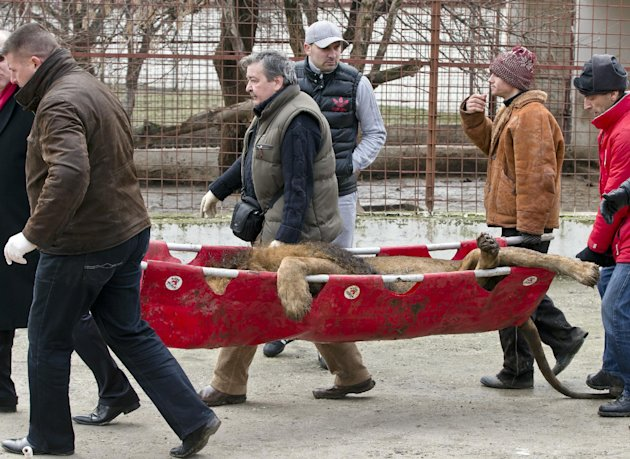 A sedated lion is carried on a stretcher, at the estate of Ion Balint, known to Romanians as Nutzu the Pawnbroker, a notorious gangster, in Bucharest, Romania, Wednesday, Feb. 27, 2013. Authorities al