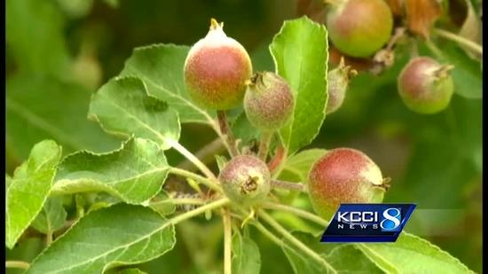 A great year for Iowa's apple crop?