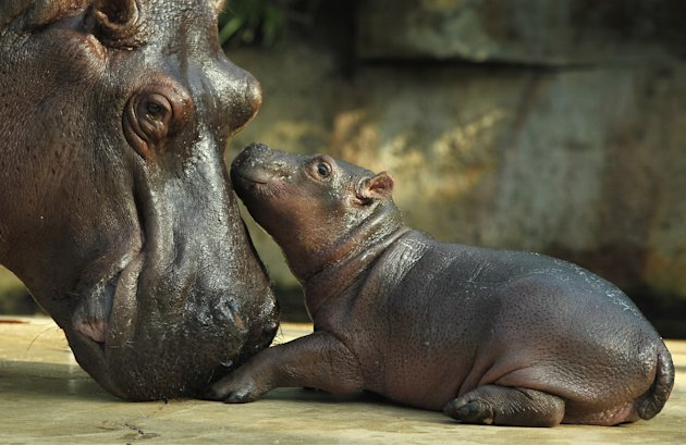 Baby Hippopotamus Presentation At Berlin Zoo