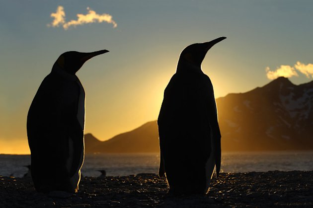 King penguins silhouetted at dawn, South Georgia. The king penguin is the second largest species of penguin, weighing up to 35lbs. They eat small fish - mainly lanternfish and squid, and repeatedly di