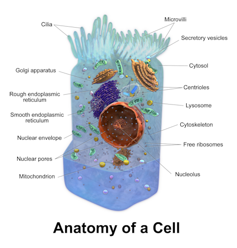 Blausen_0208_CellAnatomy
