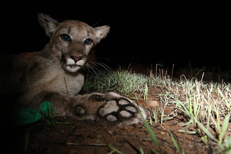 Deaths of California Mountain Lions Spells Trouble for the Struggling Species